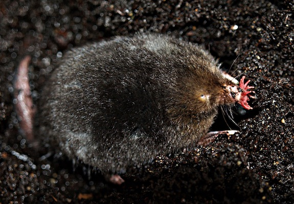 star nosed mole facts