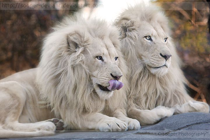 What do white lions eat - photo#19