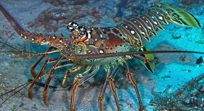 what is a lobster diet