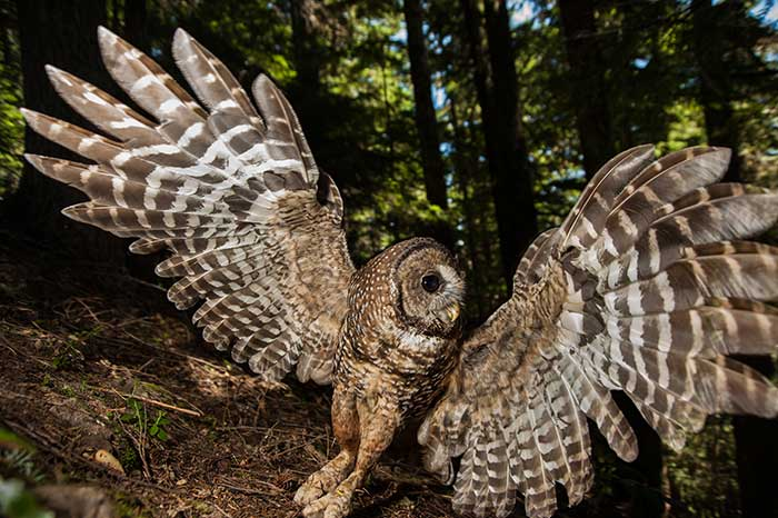 spotted owl facts