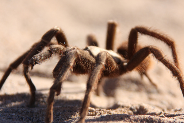 tarantula facts for kids