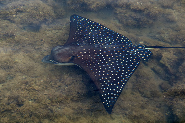 Spotted Eagle Ray facts