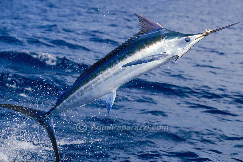 blue marlin facts