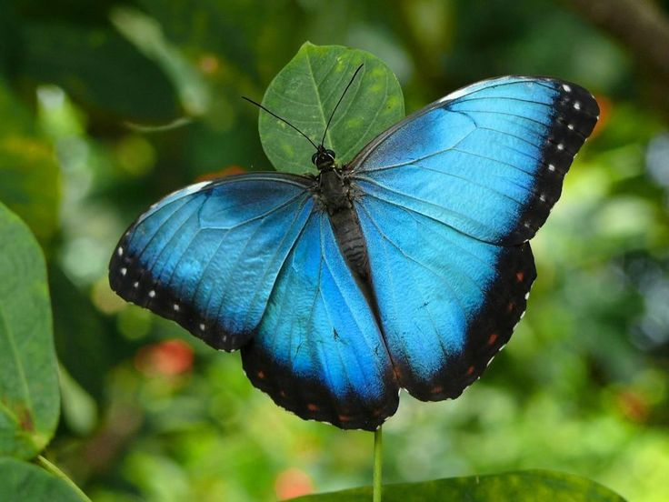 blue morpho butterfly facts