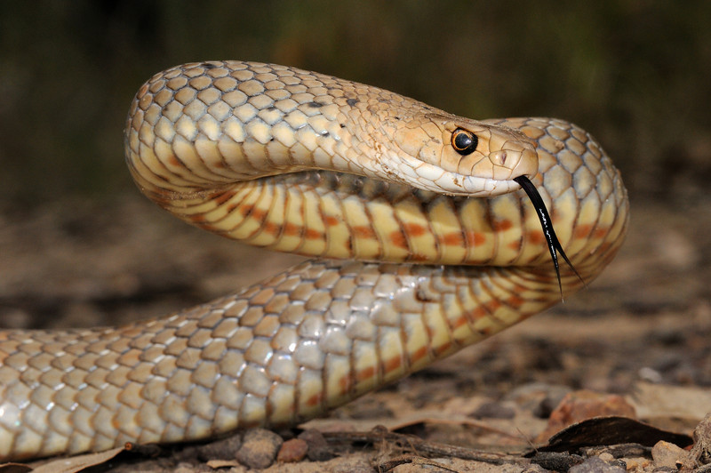 eastern brown snake facts