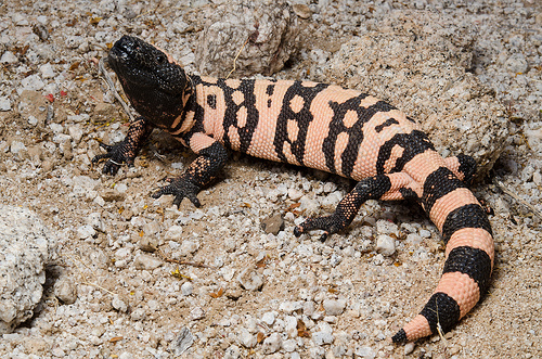 gila monster facts