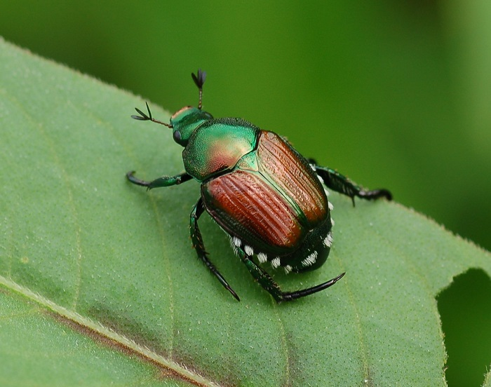 japanese beetle facts