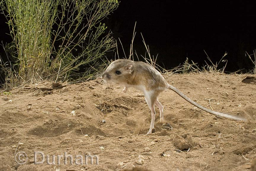 kangaroo rat facts