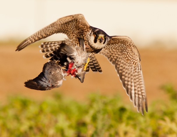 what do peregrine falcons eat