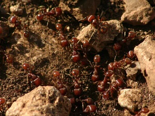 red imported fire ant facts