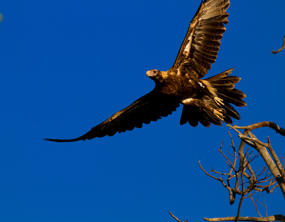 wedge tailed eagle facts