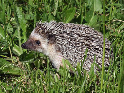african pygmy hedgehog facts