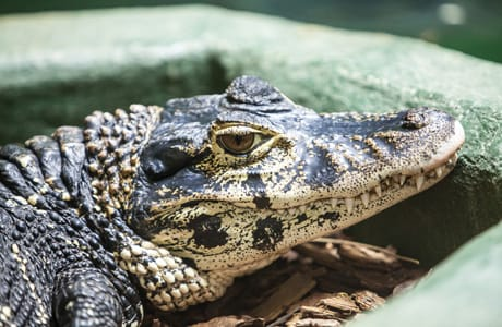black caiman facts