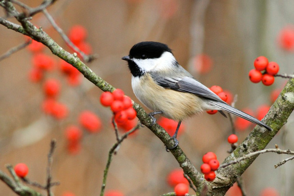 black-capped chickadee facts