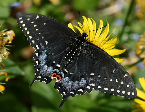 black swallowtail butterfly facts