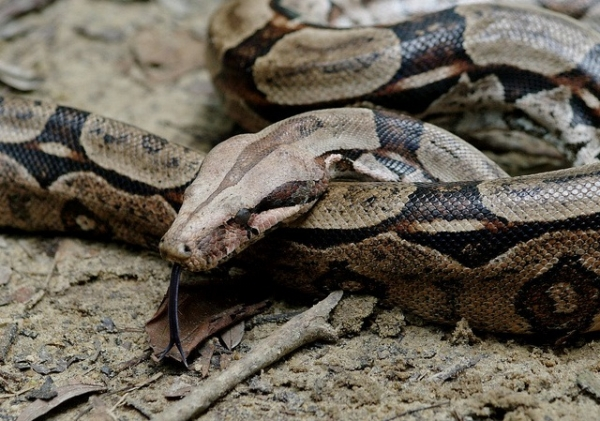 boa constrictor facts