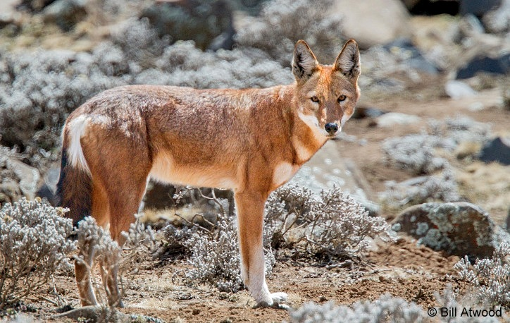 ethiopian wolf facts