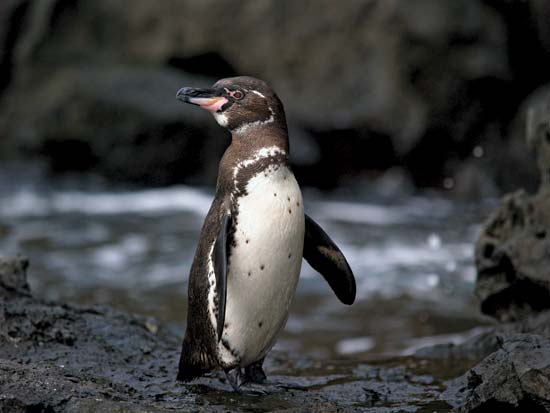 galapagos penguin facts