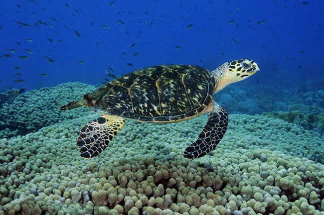 hawksbill sea turtle facts