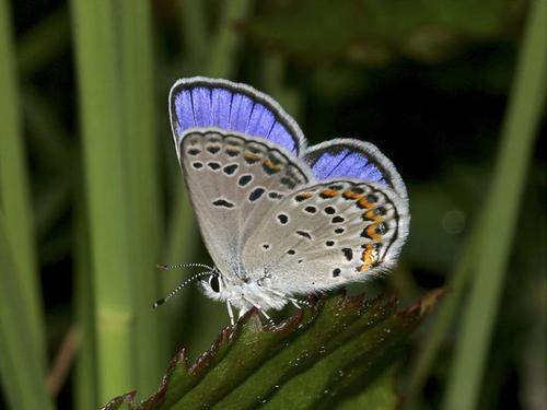 karner blue butterfly facts
