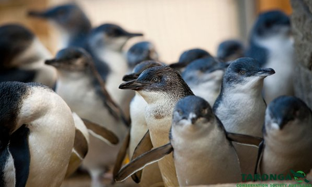little blue penguin facts