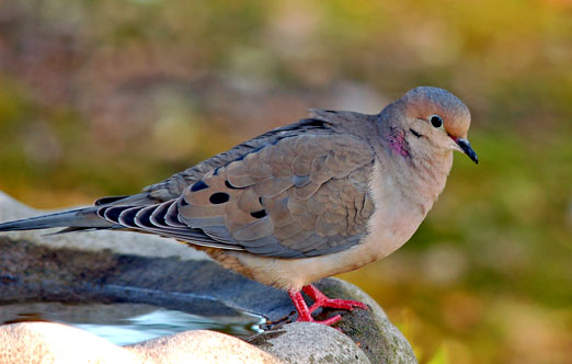 mourning dove facts
