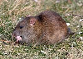 norway rat facts