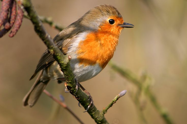 robin redbreast facts