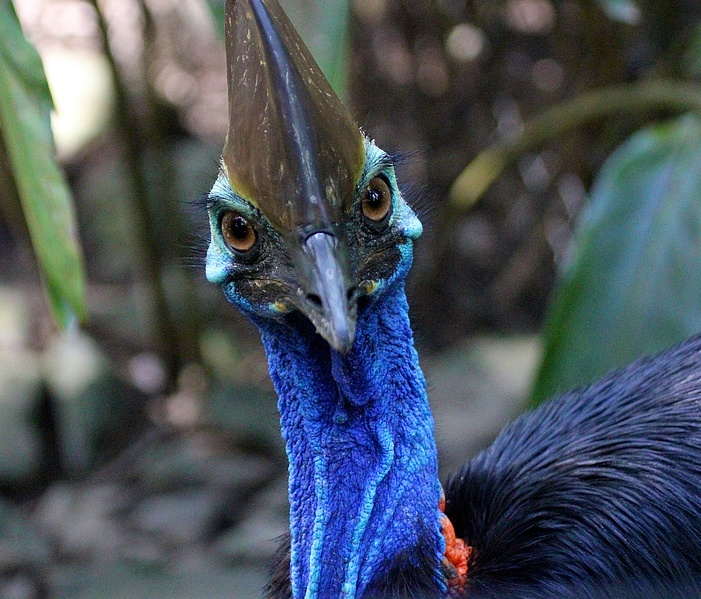 southern cassowary facts