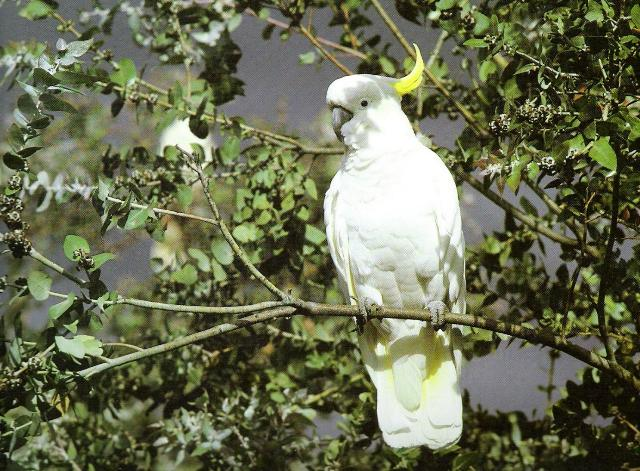 sulphur crested cockatoo facts
