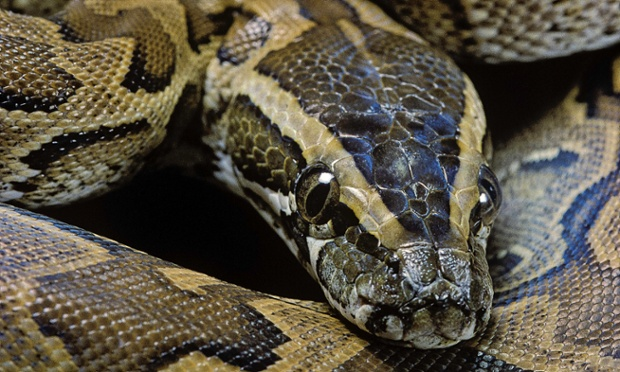 african rock python facts