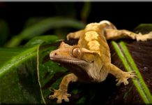crested gecko facts