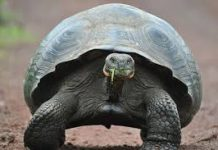 galapagos tortoise facts