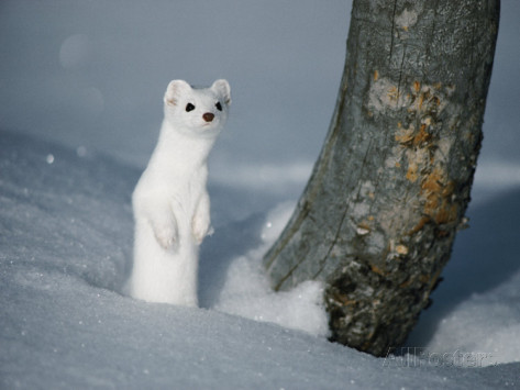 long tailed weasel facts
