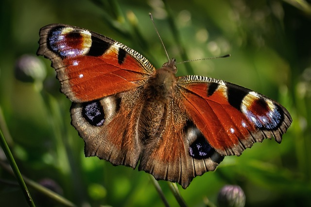 peacock butterfly facts