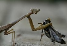 what do praying mantis eat