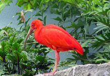 scarlet ibis facts
