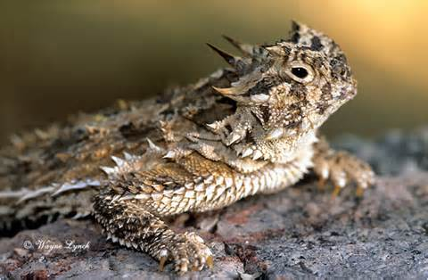 texas horned lizard facts