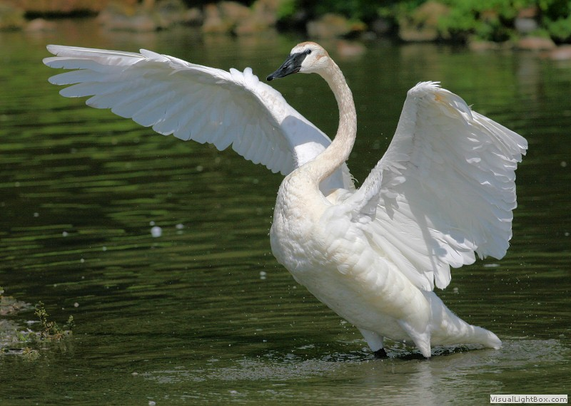 trumpeter swan facts