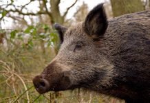 wild boar facts