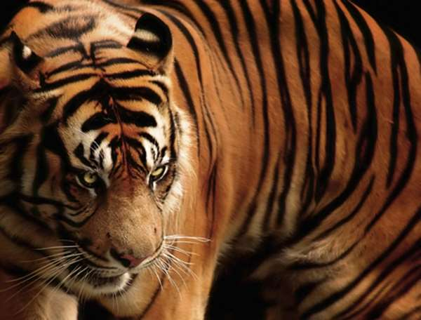 Javan Tiger Facts Extinct Tiger Species